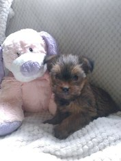 Shorkie Tzu-Yorkshire Terrier Mix Puppy For Sale in BELLEVILLE, PA, USA