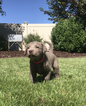 Labrador Retriever Puppy For Sale in LAPOINT, Utah,