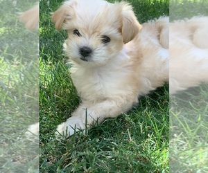 Maltipoo Puppy for sale in WOODLAND HILLS, CA, USA