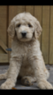 Goldendoodle Puppy For Sale in COOPER, Texas,