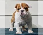 Puppy 2 English Bulldog