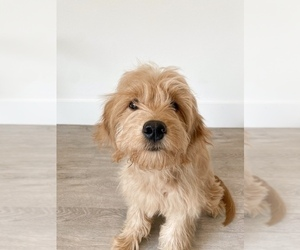 Goldendoodle (Miniature) Puppy for sale in LOS ANGELES, CA, USA