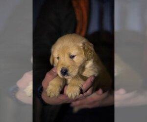 Golden Retriever Puppy for Sale in VANCOUVER, Washington USA