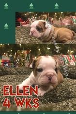 Bulldog Puppy For Sale in SAN ANTONIO, TX