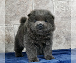 Puppy 13 Chow Chow