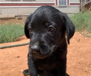 Labrador Retriever Puppy for Sale in HEREFORD, Arizona USA