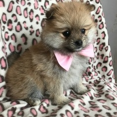 Pomeranian Puppy For Sale in EAST EARL, PA