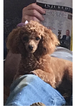 Poodle (Toy) Puppy For Sale in ARCHIE, MO, USA