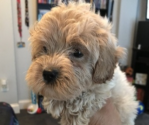 Australian Labradoodle Puppy for Sale in STOKESDALE, North Carolina USA
