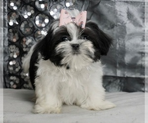 Mal-Shi Puppy for sale in WARSAW, IN, USA