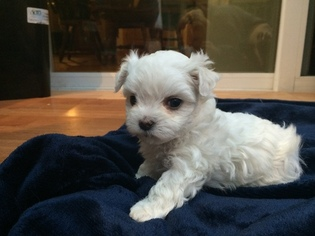 View Ad Maltese Litter Of Puppies For Sale Near Vermont