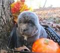 Newfoundland Puppy For Sale in ALREAD, AR, USA