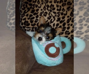 Yorkshire Terrier Puppy for Sale in SEYMOUR, Indiana USA