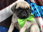 Pug Puppy For Sale in QUARRYVILLE, PA, USA