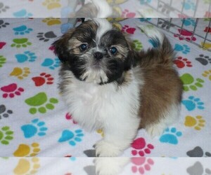 Shih Tzu Dog for Adoption in ORO VALLEY, Arizona USA