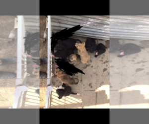 Sheprador Puppy for sale in HITCHCOCK, TX, USA