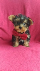 Yorkshire Terrier Puppy For Sale in OXFORD, PA, USA