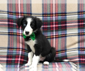 Border Collie Puppy for sale in CLAY, PA, USA