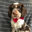 Small #5 Cocker Spaniel