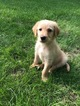 Labradoodle Puppy For Sale in ALGONA, IA, USA