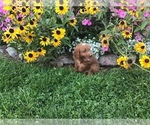Small #11 Goldendoodle-Poodle (Miniature) Mix