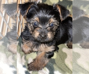 Yorkshire Terrier Dog for Adoption in CLEVELAND, Tennessee USA