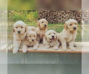 Golden Retriever Puppy for Sale in YACOLT, Washington USA