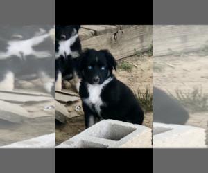 Australian Shepherd Puppy for sale in RICKMAN, TN, USA