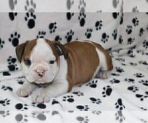 English Bulldog Puppy for sale in HOUSTON, TX, USA