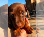 Puppy 4 Dachshund