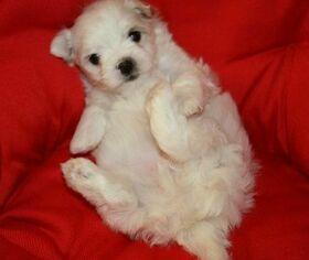 Maltese Puppy for sale in CHARLESTON, WV, USA