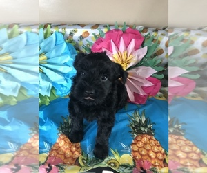 Yorkshire Terrier Puppy for Sale in MIDDLEBURG, Florida USA