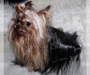 Father of the Yorkshire Terrier puppies born on 04/30/2021