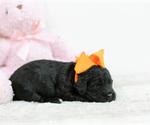 Small #2 Irish Setter-Poodle (Toy) Mix
