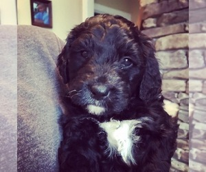 Bernedoodle Puppy for Sale in SHARPSBURG, Kentucky USA