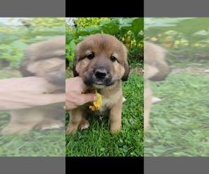 Bernese Mountain Dog-Caucasian Shepherd Dog Mix Puppy for Sale in STEVENS, Pennsylvania USA