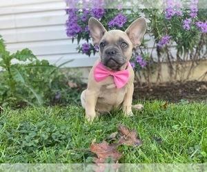 French Bulldog Puppy for sale in CEDAR LANE, PA, USA