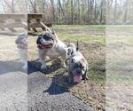 Small Photo #7 American Bully-American Pit Bull Terrier Mix Puppy For Sale in DRACUT, MA, USA
