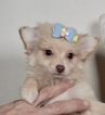 Pomeranian-Poodle (Toy) Mix Puppy For Sale in WARSAW, IN, USA