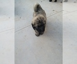 Caucasian Shepherd Dog-Poodle (Standard) Mix Puppy For Sale in KUNA, ID, USA