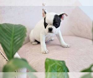 French Bulldog Puppy for Sale in FULLERTON, California USA
