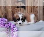 Puppy 3 Poodle (Miniature)-Saint Bernard Mix