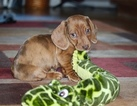 Dachshund Puppy For Sale in SHINGLE SPRINGS, CA, USA