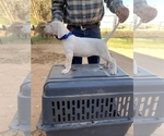 Small Dogo Argentino