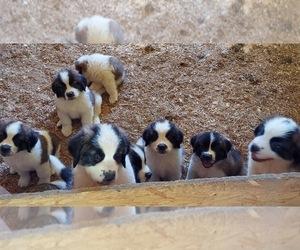 Saint Bernard Puppy for sale in FRYTOWN, IA, USA