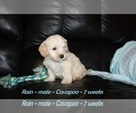 Small #3 Cavapoo