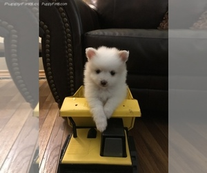 Pomeranian Puppy for sale in SAINT LOUIS, MO, USA