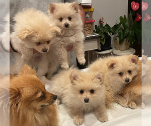 Pomeranian Dog for Adoption in FRANKLIN TWP, New Jersey USA