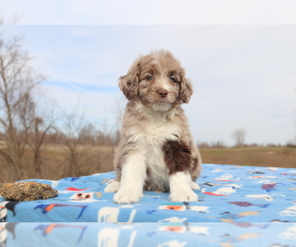 Medium Photo #2 Aussiedoodle Puppy For Sale in UNION CITY, TN, USA