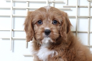 View Ad Cavapoo Puppy For Sale Near Maryland Bel Air Usa Adn 55730